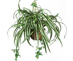 Silk Spider Plant with Hanging Basket Included