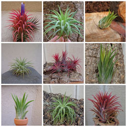 Tillandsia Air Plants
