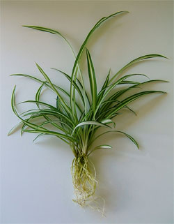 Curly Spider Plant