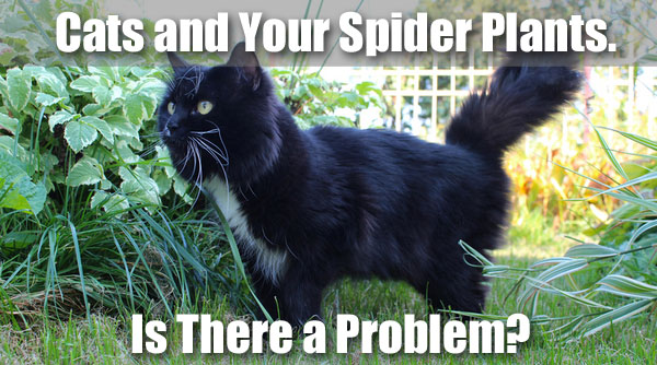 are spider plants poisonous to cats facts to know. Black Bedroom Furniture Sets. Home Design Ideas