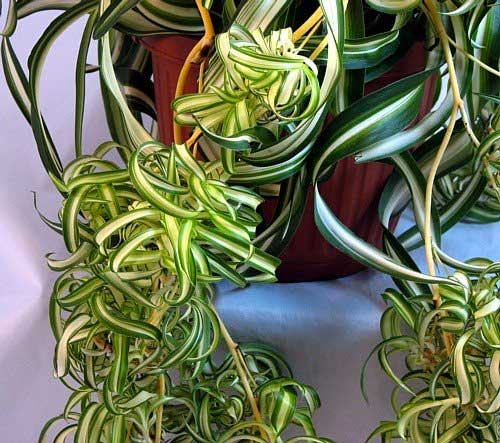 Spiderplant Care: Curly Spider Plant Tips [ How To Buy, Grow & Propagate ]
