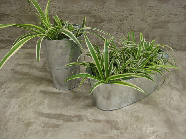 Galvanized Metal Planters with Spider Plants