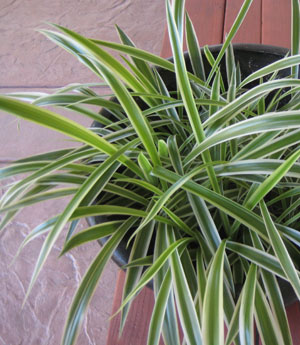 Healthy Variegated Spider Plant