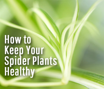 8 Things You Need To Know About Spider Plant Care
