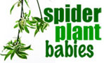 Spider Plant Babies
