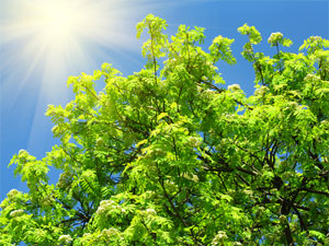Sunlight and Tree showing Photosynthesis Process
