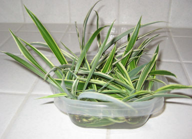 How To Propagate Spider Plants In Tupperware Container