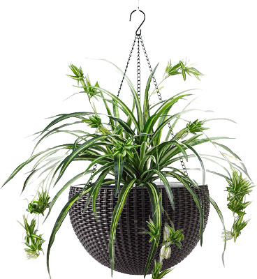 Resin Hanging Basket with Spider Plant
