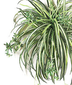 artificial spider plants that look like a live plant. Black Bedroom Furniture Sets. Home Design Ideas