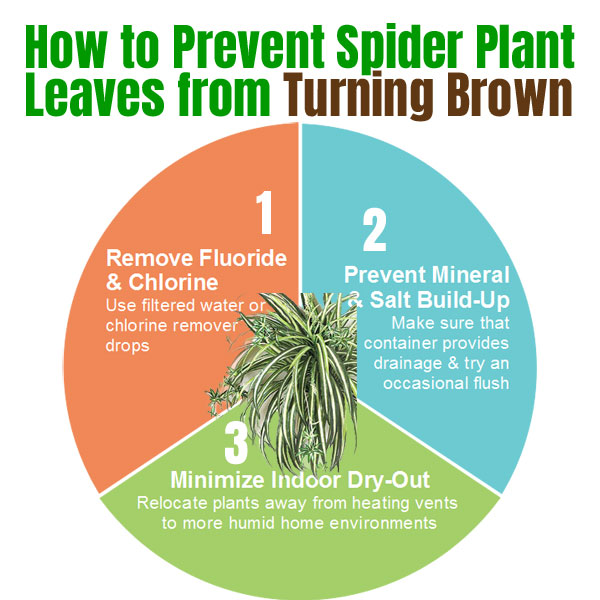 How to Prevent Brown Leaves on Spider Plants