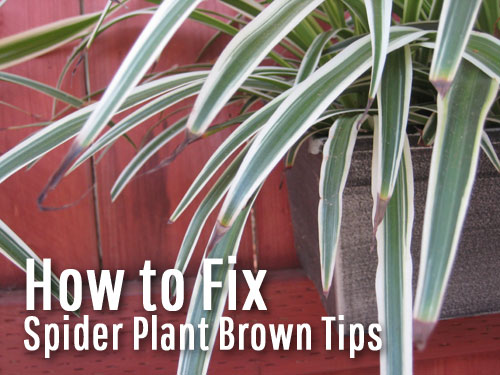 How to Fix Spider Plant Brown Tips