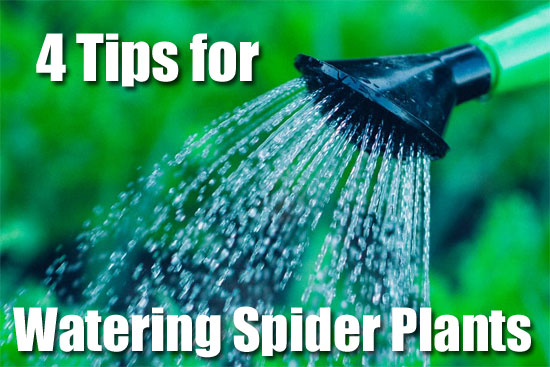 4 Tips for Spider Plant Watering